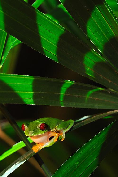 Rana arbórea calzonuda en raphis excelsa, Clayton, Panamá.<br /> <br /> Gaudy Leaf Frog, Clayton, Panama.