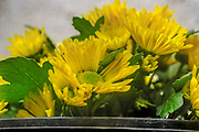 Yellow Chrysanthemum close up