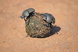 July 6, 2015 - Dung Beetles on elephant dung, Madkiwe National Park, South Africa / (Pachylomeras femoralis) / freistellbar (Credit Image: © Tuns/DPA/ZUMA Wire)