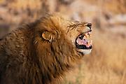 A dominant male lion   (Panthera Leo) displaying flehmen behavior to an approaching female in oestrus,Khwai River, Botswana,Africa