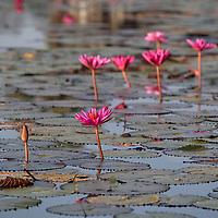 Lotus flowers at Angkor Wat.