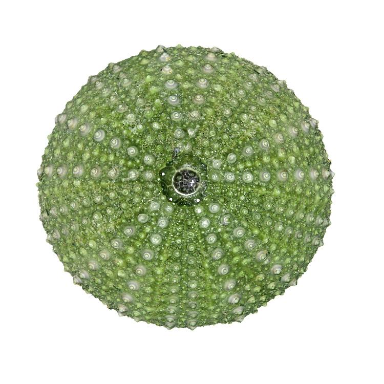Green Sea Urchin - Psammechinus miliaris