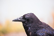 """If you know me, you'll know I'm a big fan of ravens. This raven (Corvus corax) encounter was in a trailhead car park in Yellowstone National Park, Wyoming. Ravens photographed scavenging, like this one was, are often regarded a vermin, or """"just a crow"""". However, ravens are intelligent and complex birds, showing problem solving abilities and a desire for entertainment. Ravens, the larges, and most widely found corvids form strong bonds in pairs and groups of pairs, working alongside wolves and other predators to get access to food such as carrion. They are strongly represented in native and ancient folklore around the world, appearing as messengers, creators, or gods of war. 2014 Copyright Dave Walsh. This mage can be licensed via Millennium Images. Contact me for more details, or email mail@milim.com For prints, contact me, or click """"add to cart"""" to some standard print options."""