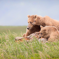 A brown bear sow and her yearling cubs look off into the distance, Hallo Bay, Katmai National Park
