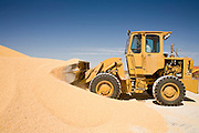 05 MAY 2008 -- BUCKEYE, AZ: A front end loader moves feed corn into a mill to process it into cattle feed at the Heiden Land & Cattle Compnay feed lot in Buckeye, AZ. Les Heiden, owner of the Heiden Land & Cattle Company, said his corn prices have gone up by 123% since May, 2006. He attributes about 85 percent of the price increase to the ethanol industry, which he said his buying five times more corn now than they were two years ago. Heiden feeds about 4,500 head of cattle in his feed lot, which is west of Phoenix.  Photo by Jack Kurtz