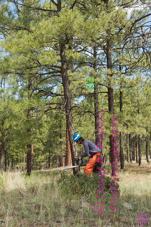 """Worker from the United States Forest Service fells small brushy """"fire ladder"""" tree with chain saw to reduce fire hazard and risk of heat damage to Kiatsukwa Ruin, visible as stones on a small mound in the foreground. Ruin is surrounded by ponderosa pine forest, visible in the background. Santa Fe National Forest, New Mexico, © David A. Ponton"""