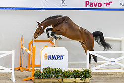 036, Casper VM Z<br /> KWPN Hengstenkeuring 2021<br /> © Hippo Foto - Dirk Caremans<br />  03/02/2021