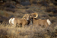 Big Horn Ram Huddle. Along Colorado 14 near Sheridan in Roosevelt National Forest. Image taken with a Nikon D2xs and 200-400 mm lens (ISO 100, 400 mm, f/5.6, 1/125 sec).