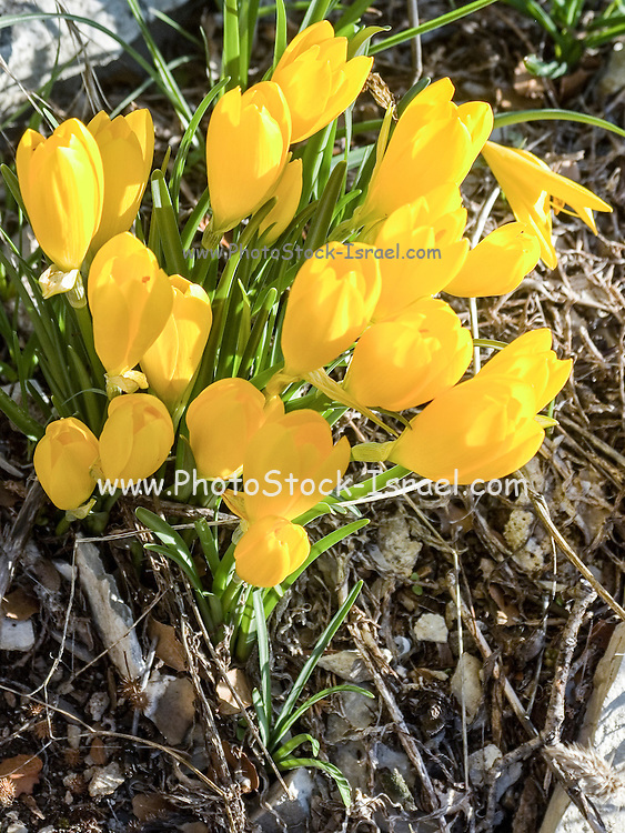 Yellow flowers of the Sternbergia lutea (Autumn daffodil, Fall daffodil, Lily-of-the-field, Winter daffodil, Yellow Autumn crocus). This flower blooms for three weeks every year just after the first rains. Photographed in Zagori, Epirus, Greece in October