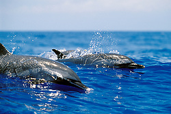 pantropical spotted dolphins, Stenella attenuata, wake-riding, Big Island, Hawaii, Pacific Ocean