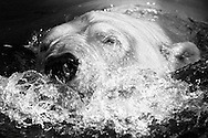 Deutschland, DEU, Berlin, 2000: Kopf eines schwimmenden Eisbaers (Ursus maritimus), Berliner Zoo. | Germany, DEU, Berlin, 2000: Polar bear, Ursus maritimus, head of a swimming polar bear, Zoo Berlin. |
