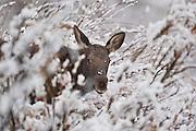 Shira's moose (Alces alces shirasi) calf moose in snow in Wyoming
