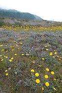 Lupine and dandelions on the Hummocks Trail at Mount St. Helens National Volcanic Monument. This is a trail on top of material that slid off during the 1980 eruption.