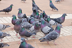 Pigeons, Plaza de Mayo