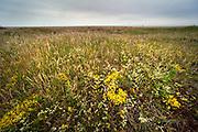 Wide Angle habitat shot of various flower & plants, Sandwich Bay, Kent UK - Kent Wildlife Trust, biting stonecrop, grasses, dry sandy soil conditions