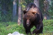 A European brown bear, Ursus arctos, walking in the forest, Kuhmo, Finland.