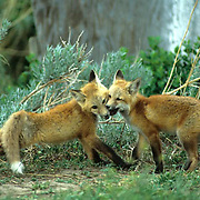 Red Fox, (Vulpus fulva) Young fox pups playing together near den. Spring.