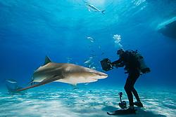 Scuba diver with shark baits, Lemon Sharks, Negaprion brevirostris, with sharksuckers, Echeneis naucrates, and Blue Runner jacks, Caranx crysos, West End, Grand Bahama, Bahamas, Caribbean, Atlantic Ocean