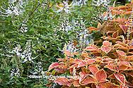 65821-00109 Lavender Cat's Whiskers (Orthosiphon stamineus) and Coleus (Solenostemon scutellarioides 'Rustic Orange') Sarah P. Duke Gardens, Durham, NC