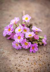 Primula vulgaris 'Avondale' - Kennedy Irish Series