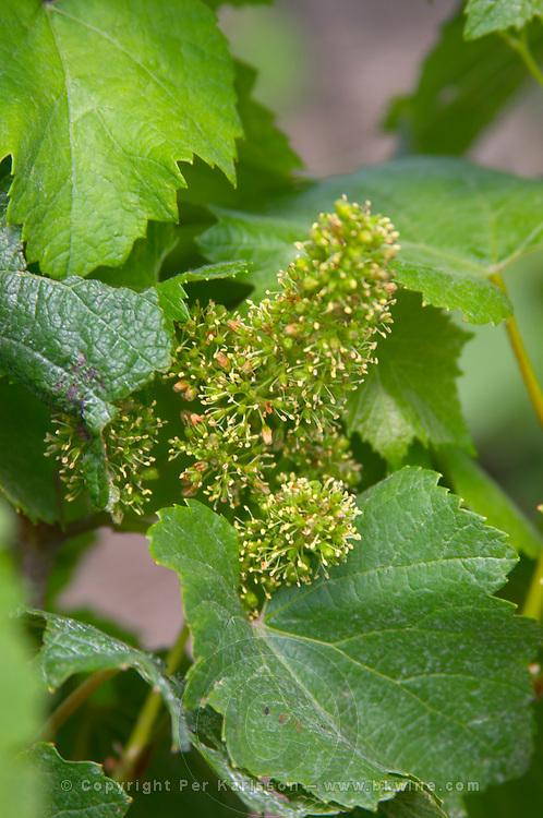 A chardonnay vine in flower Champagne Francois Seconde, Sillery Grand Cru, Montagne de Reims, Champagne, Marne, Ardennes, France