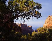 Juniper framing canyon walls of the Left Fork of North Creek, Zion Natonal Park, Utah.