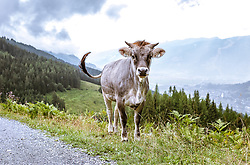 THEMENBILD - eine Kuh (Tiroler Grauvieh) neben einem Wanderweg auf einer Almwiese, aufgenommen am 03. August 2019 in Bruck a. d. Grossglocknerstrasse, Oesterreich // a cow (Tyrolean Grey) next to a hiking trail on an alpine meadow in Bruck a. d. Grossglocknerstrasse, Austria on 2019/08/03. EXPA Pictures © 2019, PhotoCredit: EXPA/Stefanie Oberhauser