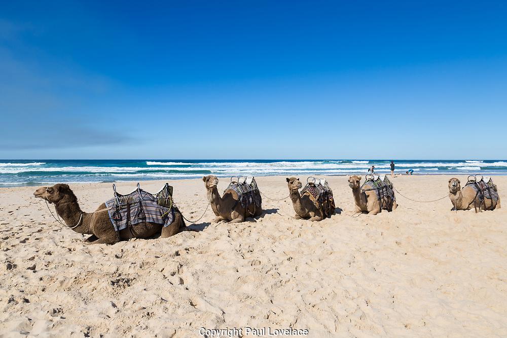 Camel Safaris on Lighthouse Beach, Port Macquarie, NSW.