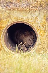 Lion In Culvert