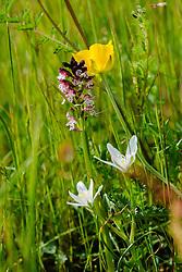 Aangebrande orchis, Neotinea ustulata