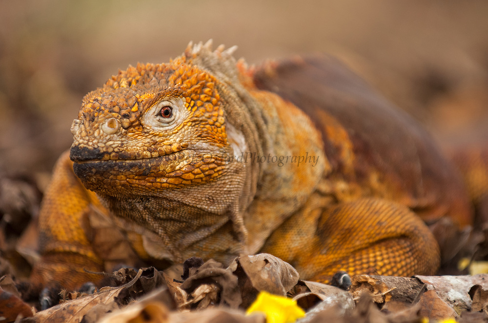 Land Iguana (Conolophus subcristatus)<br /> Base of Wolf Volcano, Isabela Island<br /> Galapagos Islands<br /> ECUADOR.  South America<br /> One of three endemic species of these large, yellow lizards found in the islands.  <br /> Conolophus subcristatus lives on six of the islands. (Fernandina, Isabela, Santa Cruz, South Plaza, Baltra and Seymour) They are vegetarian and eat mostly Opuntia cactus. However it has been reported that they will eat carrion if available.
