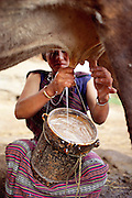 One of Sangay's morning duties is milking the cows. Published in Material World: A Global Family Portrait, page 75. Sangay and her children and husband live in her parent's house; a traditional 3-story rammed-earth house in the hillside village of Shingkhey, Bhutan. Sangay and her mother Nalim care for the children and work in their mustard, rice, and wheat fields. Namgay, who has a hunched back and a clubfoot, grinds grain for neighbors with a small mill his family purchased from the government.