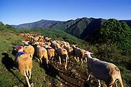 France, Languedoc Roussillon, Cevennes, Gard, Lozère, Mont Aigoual, transhumance