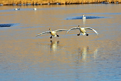 Trumpeter Swans coming in for a landing on on Flat Creek at the National Elk Refuge in Jackson Hole Wyoming
