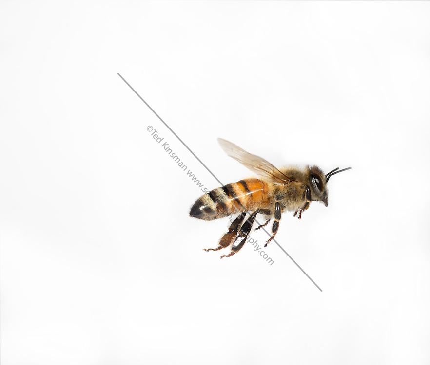 Honey bee (Apis mellifera) captured in flight.