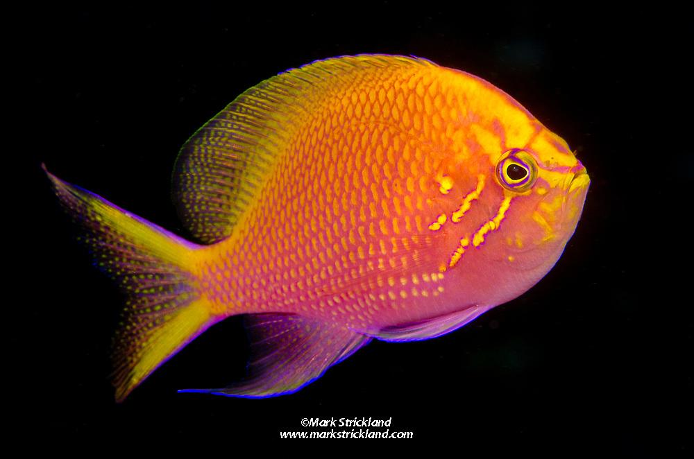 Hawk Anthias, Serranocirrhitus latus, Bligh Water, Fiji, Pacific Ocean