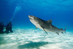 Tiger Shark, Galeocerdo cuvier, and scuba divers, West End, Grand Bahama, Bahamas, Caribbean, Atlantic Ocean