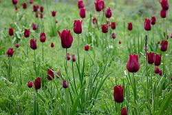 Tulipa 'Merlot' and 'National Velvet' growing in grass