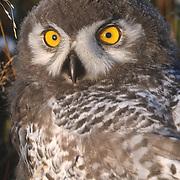 Snowy Owl (Bubo scandiacus) chick, almost to fledgling stage. Barrow, Alaska