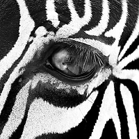 This gorgeous zebra is part of a wildlife collection.