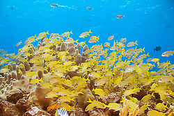 Schooling French Grunts, Haemulon Flavolineatum, and Smallmouth Grunts, Haemulon chrysargyreum, over Pillar Coral, Dendrogyra cylindrus, Sugar Wreck, the remains of an old sailing ship that grounded many years ago, West End, Grand Bahamas, Caribbean, Atlantic Ocean