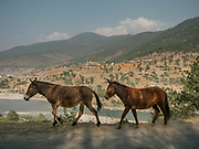 Horses on the road while passing through Punakha dzong.