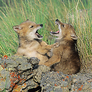 Coyote (Canis latrans) pups fighting and playing in the spring in Rocky Mountains. Captive Animal