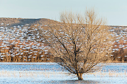 Snow geese in flight, Bosque del Apache, National Wildlife Refuge, New Mexico, USA.
