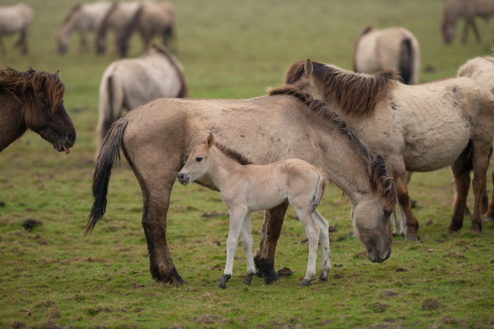 Wild-living Konik horses, Equus caballus, Oostvaardersplassen nature reserve, The Netherlands