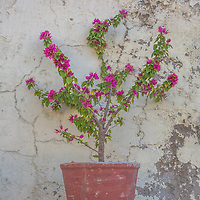 An old planter with bright fuschia blooms stands in contrast to textured wall behind it.