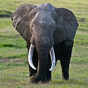 African Elephant, (Loxodonta africana) large bull, Amboseli National Park. Kenya. Africa.
