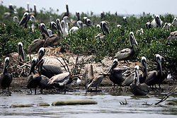 06 June 2010. Barataria Bay to Grand Isle, Jefferson/Lafourche Parish, Louisiana. <br /> Brown pelicans on the Cat Island chain in Barataria Bay, home to thousands of nesting birds including the Louisiana brown pelican, a bird only recently removed from the endangered species list. The birds are attempting to rear their young with the threat of oil pouring into their habitat.  The ecological and economic impact of BP's oil spill is devastating to the region. Oil from the Deepwater Horizon catastrophe is evading booms laid out to stop it thanks in part to the dispersants which means the oil travels at every depth of the Gulf and washes ashore wherever the current carries it. The Louisiana wetlands produce over 30% of America's seafood and are the most fertile of their kind in the world.<br /> Photo; Charlie Varley/varleypix.com