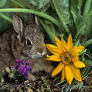 Mountain Cottontail, (Sylvilagus nuttalli) Portrait of bunny in spring flowers. Captive Animal.