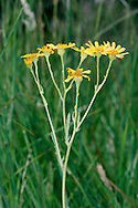 MARSH RAGWORT Senecio aquaticus (Asteraceae) Height to 80cm. Poisonous biennial or perennial that grows in damp grassy places and marshes. FLOWERS are yellow and borne in heads, 20-30mm across; these are carried in open clusters that are fewer-flowered than Common Ragwort and are not flat-topped (Jul-Aug). FRUITS are downy. LEAVES either have a larger end lobe than those of Common Ragwort, or are undivided. STATUS-Widespread and locally common in suitable habitats.